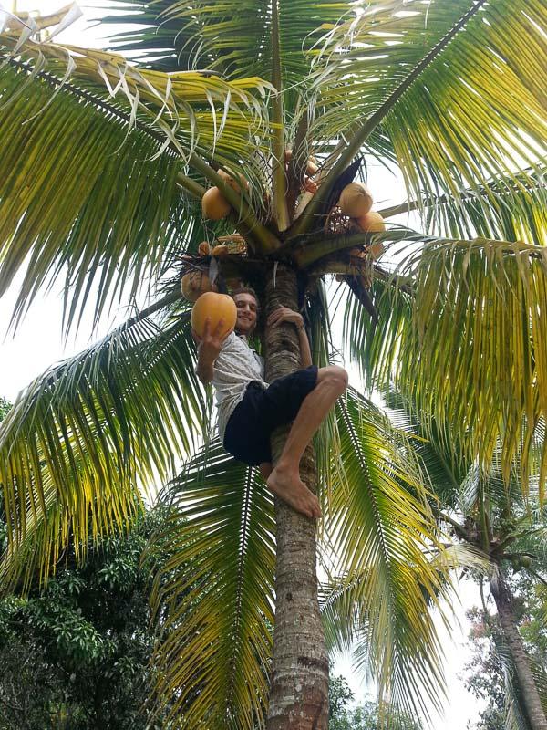 Recolectando cocos.