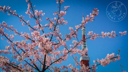 Torre de Tokio con lsa flores de cerezo.
