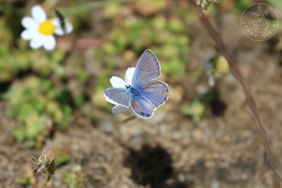 La Niña de la Sierra, una mariposa de Sierra Nevada,  alpujarras granadinas, España