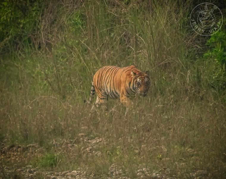 Tigre de bengala o tigre indio, bardiya national park