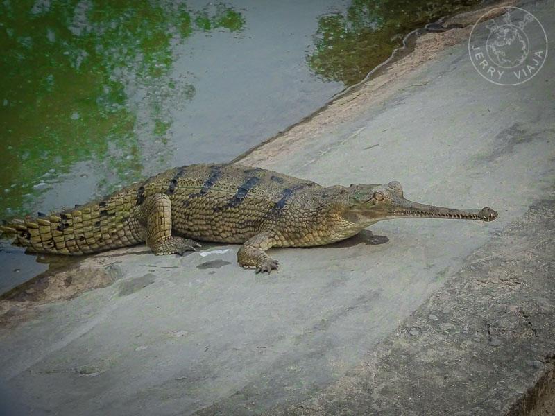 Cocodrilo gavial del ganges, bardiya national park, nepal