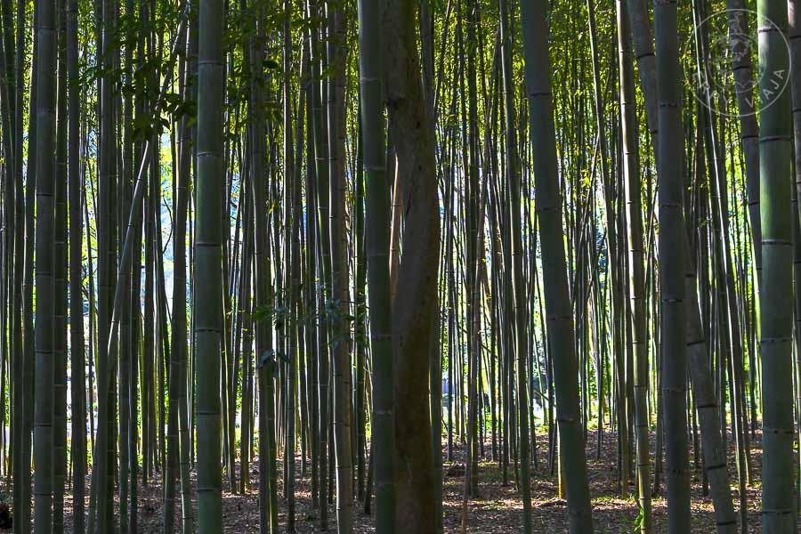 Arashiyama, el Bosque de Bambú, Kioto, Japon