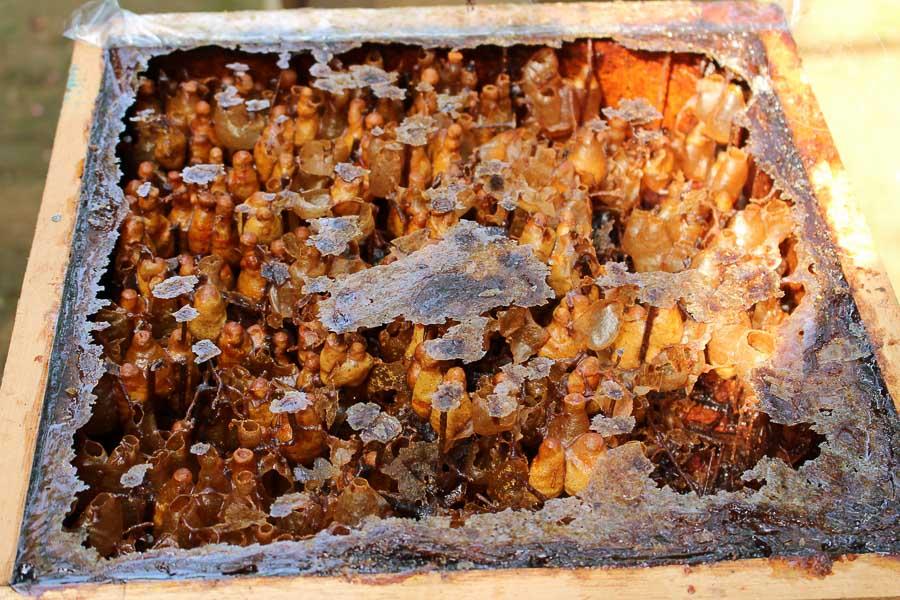 Colmena de abejas sin aguijón, Malasia