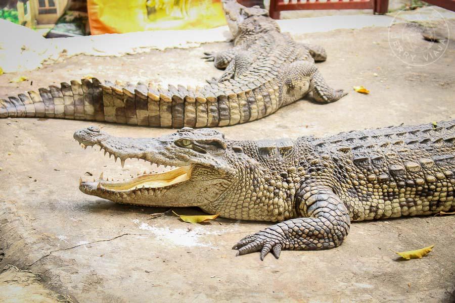 Wat Chakrawat y sus cocodrilos, Bangkok, Tailandia